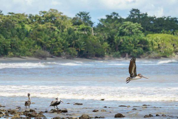 Pelican - Costa Rica