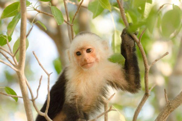 White Faced Monkey Encanta